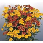 Helenium Helena Mix - 25 seeds